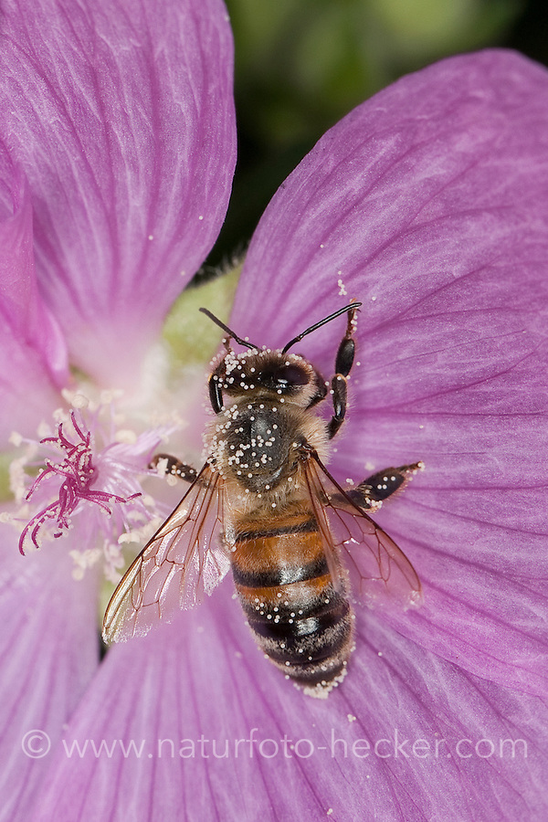 Honigbiene, Honig-Biene, Biene, Apis mellifera, Apis mellifica, Blütenbesuch auf Malve, Malva, Nektarsuche, Blütenbestäubung, mit Pollen bestäubt, honey bee, hive bee