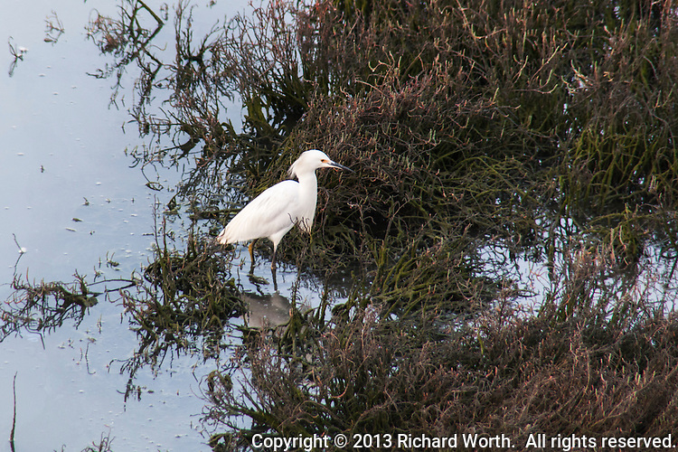 A Snowy egret looks for food among the grasses along the shore of a pond at the Hayward Regional Shoreline.