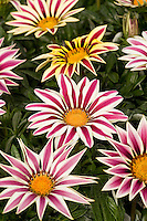Gazania 'Big Kiss' White Flame drought tolerant flower