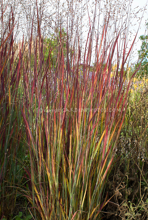 Panicum virgatum 39 heiliger hain 39 in autumn foliage plant for Red and green ornamental grass