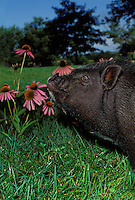 Take time to smell the flowers, pot belly pig demonstrates the adage