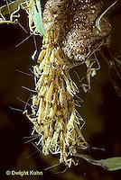 1M05-107z  Praying Mantis young emerging from egg case - Tenodera aridifolia sinenesis