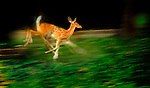 NO EDITORIAL USE sign cloned away. August 24, 2015 Fawn runs along Cedar Blvd. in Mt. Lebanon, PA. Jim Mendenhall/photo