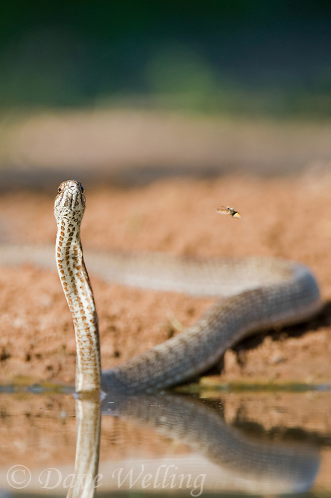 414140002 a wild  western coachwhip snake masticophis flagelum testaceus  surveys its surroundings by a small pond in the rio grande valley of south texas