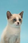 Snowshoe Kittens - 9 weeks old