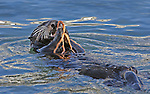 Southern Sea Otter (Enhydra lutris) feeding on a Red Octopus (Octopus rubescens). Elkhorn Slough. Moss Landing State Beach. Moss Landing, Monterey Co., Calif.