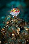 harlequin sandperch: Parapercis marculatus, Tulamben, Bali