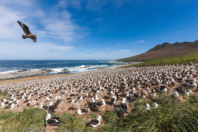 Skua fly's over Black-browed albatross colony. Steeple Jason Island, Falkland Islands