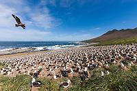 Skua fly's over Black-browed albatross colony. Steeple Jason Island, Falkland Islands