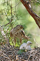 Female Cooper's Hawk (Accipiter cooperii) feeding chicks in nest in the Chiricahua Mountains, Arizona