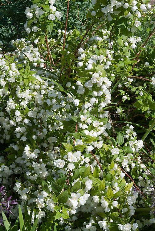 Philadelphus 39 manteau d 39 hermine 39 plant flower stock photography - Philadelphus manteau d hermine ...