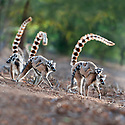 A troop of adult female Ring-tailed Lemurs (Lemur catta) carrying their infants (4-5 weeks of age) across an open area within the forest. Gallery forest, Berenty Reserve, southern Madagascar.
