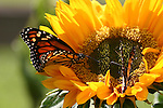Monarch butterflies on sunflower