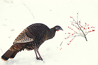 Wild turkey feeding on red hollyy berries in new snow