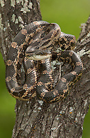 464350061 a wild adult texas rat snake elaphe obsoleta lindheimeri sits coiled in the notch of a tree in southeast regional park austin texas