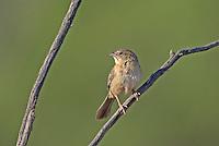 578680013 a wild male botteri's sparrow aimophila botteri perches on a dead stick in the madera grasslands near madera canyon pima county arizona united states