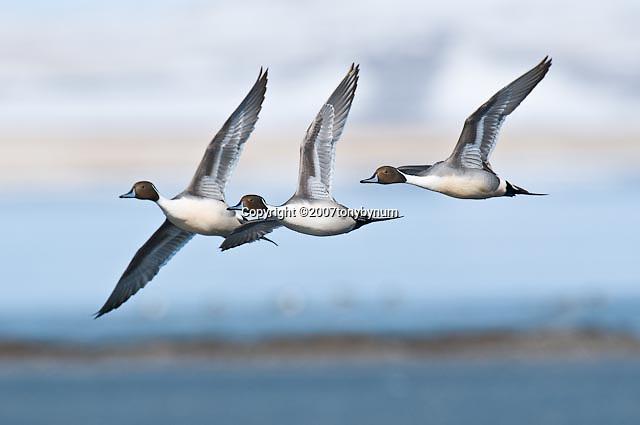 northern pintail ducks, pintail courtship flight | Tony ...