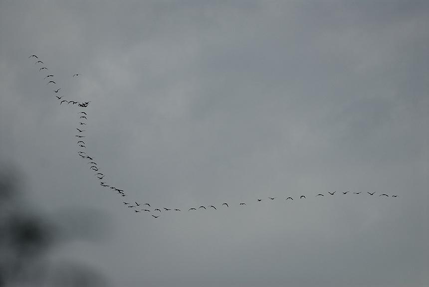 Herd of goose flying