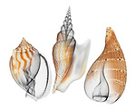 Blended x-ray image of bonnet, conch, and fig shells (on white) by Jim Wehtje, specialist in x-ray art and design images.