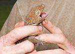 Herpetologist Mark O'Shea holds a tokay gecko, Gekko gecko, on Atauro Island, Timor-Leste (East Timor)