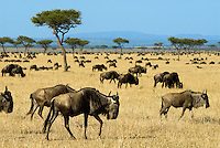 Wildebeest graze in the Massai Mara National Reserve. Buy July, the migration begins its turn northeast for the Maasai Mara where they will graze until October before they again turn south to their breeding grounds in Tanzania--with pregnant females leading the way..