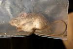 Single-striped Mouse