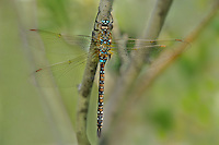 339570004 a wild male paddle-tailed darner aeschna palmata perches on a plant stem along big pine creek at about 8,000 feet in central inyo county california united states