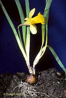 HS39-002a  Daffodil - whole palnt soil profile showing roots, bulb, stem, leaves, flower - Narcissus spp.