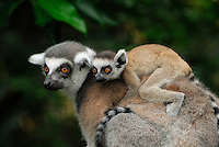 Close up of a Ring-tailed Lemur with its baby riding on its back (Lemur catta), Madagascar.