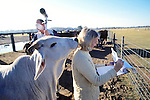 Ros Rootes Recording Data & Cow