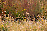 Bouteloua gracilis (blue grama grass) flowering in Porter Plains Garden meadow at Denver Botanic Garden in front of Schizachyrium virgatum (swithchgrass)