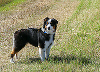 Australian Shepard Molly Montana at Ninepipes in Montana