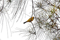 Golden Whistler, Wooli, NSW, Australia