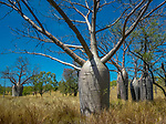 Boab Trees, Kimberley region, Western Australia