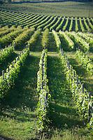 Vineyards of  Sopron, Hungary