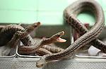Foto: VidiPhoto<br /> <br /> RHENEN - En medewerker van Ouwehands Dierenpark in Rhenen toont dinsdag de pasgeboren Cubaanse boa's. Voor de dierentuin zijn de maandag geboren wurgslangen een primeur en een groot succes. Tien jaar geleden werden er voor het laatst slangen geboren en bovendien kropen die uit een ei. Boa's worden echter levendgeboren. De Cubaanse boa is een ernstig bedreigde diersoort en de enige slang waar een fokprogramma voor is. Sinds dit voorjaar neemt de Rhenense dierentuin actief deel aan het stamboek voor Cubaanse boa's, met drie levendgeboren jongen nu als resultaat. In Nederland heeft naast Ouwehands alleen Blijdorp Cubaanse boa's. Deze soort kan ruim 4 meter lang worden. Ze doden hun prooi door die te wurgen.