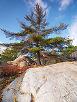 Big old Pitch Pine tree growing among rocks. Killarney, Ontario, Canada.