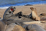 Molting northern elephant seals and California Sea Lion yearling