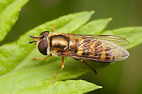 Flower Fly (Syrphus sp.) - Female, West Harrison, Westchester County, New York