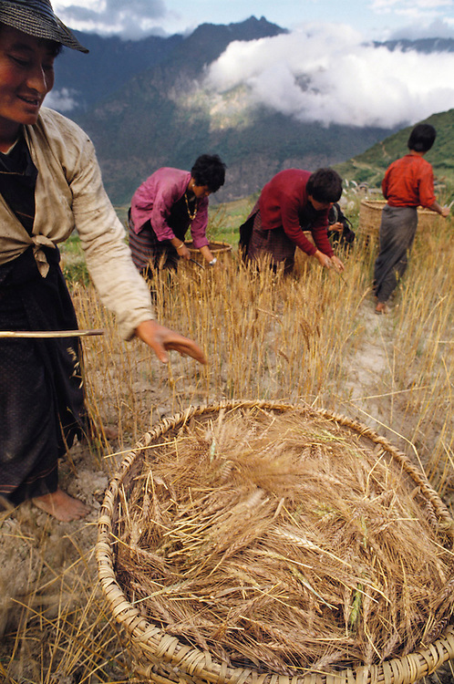 The wheat harvest in the small village of Shingkhey, Bhutan, now in full swing, is assigned to the women. They take two long, dowel-like sticks, pinch a fistful of wheat heads between them, and then pull up, snapping off the heads. For long-term storage, they cut the stalks down, bind them into sheaves, and store them in the attic. It is threshed little by little, as the family needs it. Published in Material World: A Global Family Portrait, page 75.