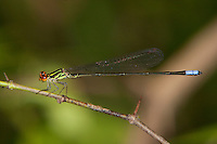 Hagen's Sprite Damselfly male perched (Pseudagrion hageni), South Africa.