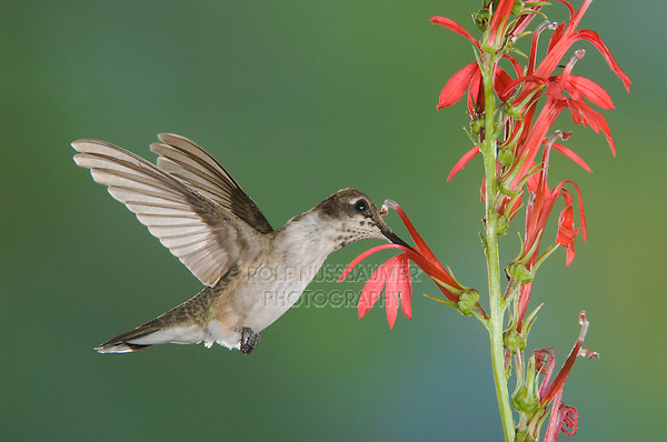 Black-chinned Hummingbird, Archilochus alexandri, immature male feeding on Cardinal Flower (Lobelia cardinalis),Tucson, Arizona, USA