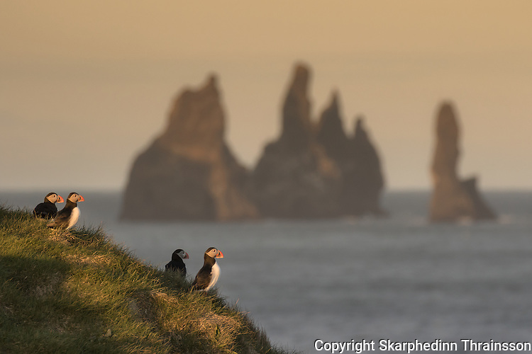Puffin and Reynisdrangar