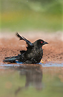 512440022 a wild male bronzed cowbird molothrus aeneus bathes in a small pond in the rio grande valley in south texas