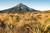 Morning light on alpine tussock field with Taranaki, Mount Egmont in background, Egmont National Park, North Island, New Zealand, NZ