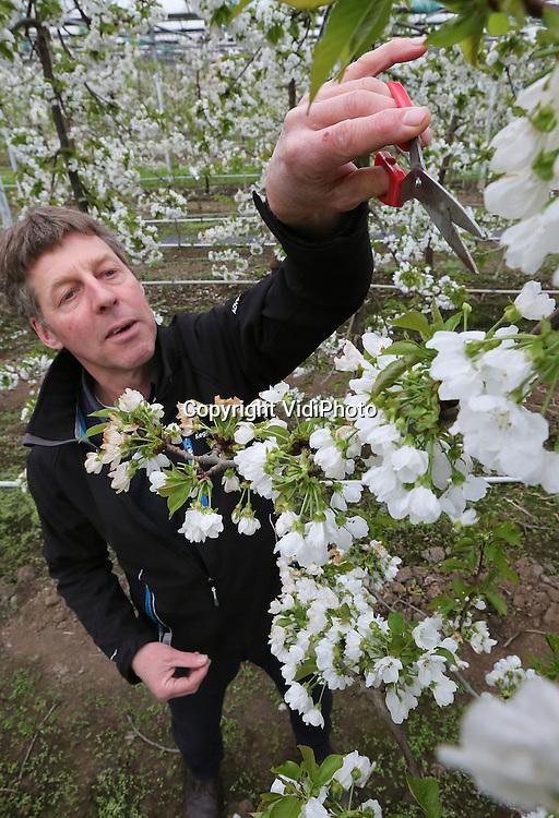 Foto: VidiPhoto<br /> <br /> ELST - Laat de lente het buiten flink afweten, in de kersenkas van Joop van Pommeren uit het Gelderse Elst bloeit de bloesem uitbundiger dan ooit. Zelfs zo, dat de kersenteler dinsdag met de hand veel bloesem wegknipt. Zo voorkomt hij dat over enkele weken zijn bomen uitpuilen van de kleine kersen. Van Pommeren wil juist minder, maar grote en smakelijke, vruchten. En daar is ruimte aan de takken voor nodig. Een deel van de bloesem in de duizend kersenbomen van de teler moet met de hand verwijderd (gedund) worden; een tijdrovende bezigheid. Voor het zogenoemd chemisch dunnen van kaskersen zijn nog geen goede middelen beschikbaar. Bovendien gaat de Betuwse teler voor biologisch. Zo gebeurt de bestuiving door hommels. Die vliegen -in tegenstelling tot bijen- ook bij lagere temperaturen zoals  op dit moment. Van Pommeren teelt vier hoofdrassen en vijftien proefrassen onder 3000 vierkante meter glas. Enkele jaren geleden is hij van groententeelt overgestapt op kersen. Ook buiten heeft hij nog een boomgaard van zo'n 600 laagstambomen. Door de lage temperaturen wordt er in de kas naar verwachting zo'n twee weken later geoogst dan vorig jaar, maar desondanks toch vier weken eerder dan buiten. Van Pommeren is de enige in de wijde omtrek die kaskersen heeft en daarom trekt hij klanten uit grote delen van het land. De meeste kersen worden aan huis verkocht, de rest gaat via handelaren naar de consument.