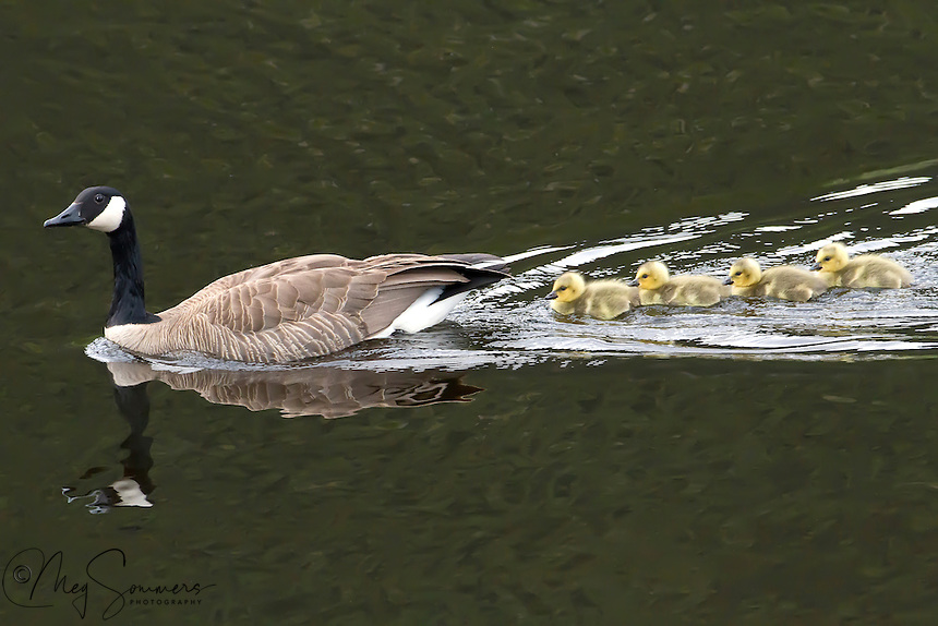 During the second year of their lives, Canada Geese (Branta canadensis) find a mate. They are monogamous, and most couples stay together all of their lives. If one dies, the other may find a new mate. The female lays 3-8 eggs and both parents protect the nest while the eggs incubate, but the female spends more time at the nest than the male.<br /> Known egg predators include coyotes, foxes, raccoons, large gulls, wolves, ravens and bears.<br /> The incubation period, in which the female incubates while the male remains nearby, lasts for 24-28 days after laying. As the annual summer molt also takes place during the breeding season, the adults lose their flight feathers for 20-40 days, regaining flight at about the same time as their goslings start to fly.<br /> Adult geese are often seen leading their goslings in a line, usually with one parent at the front, and the other at the back. While protecting their goslings, parents often violently chase away nearby creatures, from small blackbirds to lone humans that approach, after warning them by giving off a hissing sound and will then attack with bites and slaps of the wings if the threat does not retreat or has seized a gosling. Most of the species that prey on eggs will also take a gosling. Although parents are hostile to unfamiliar geese, they may form groups of a number of goslings and a few adults, called cr&egrave;ches.<br /> The offspring enter the fledging stage any time from 6 to 9 weeks of age. They do not leave their parents until after the spring migration, when they return to their birthplace. Once they reach adulthood, Canada Geese are rarely preyed on, but (beyond humans) are taken by coyotes, wolves, snowy owls, golden eagles and bald eagles.
