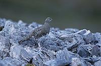 Rock Ptarmigan, Lagopus mutus, female summer plumage, Cassonsgrat, Flims, Alps, Switzerland, Europe..