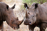 Africa, Kenya, Meru. White Rhinos of Meru National Park Rhino Sanctuary.