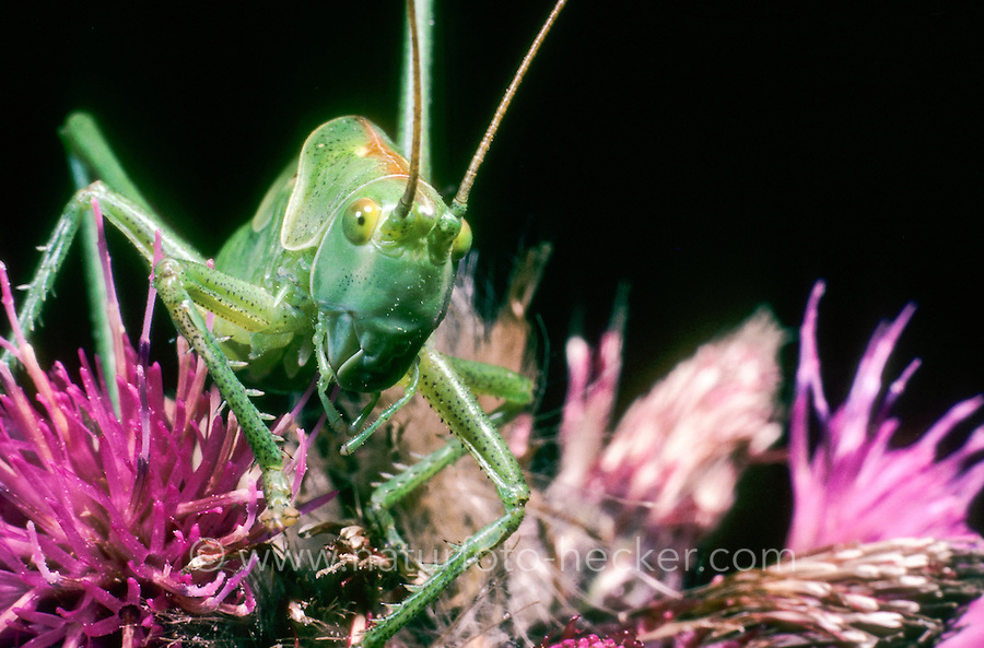 Grünes Heupferd, Großes Heupferd, Großes Grünes Heupferd, Grüne Laubheuschrecke, Tettigonia viridissima, Great Green Bush-Cricket, Green Bush-Cricket